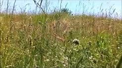 Reiki timer «Om» 21×3 minutes –  Grillon dans un champ (Soin complet ou auto-traitement 1er degré)