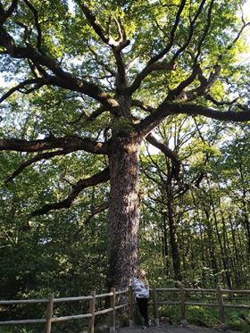 Tambour au Chêne des Hindrés, en Brocéliande