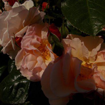 Présentation de «La Roseraie» – vidéo